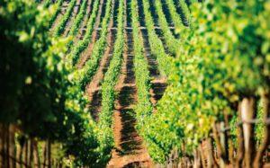 Vineyards at Bolney Wine Estate